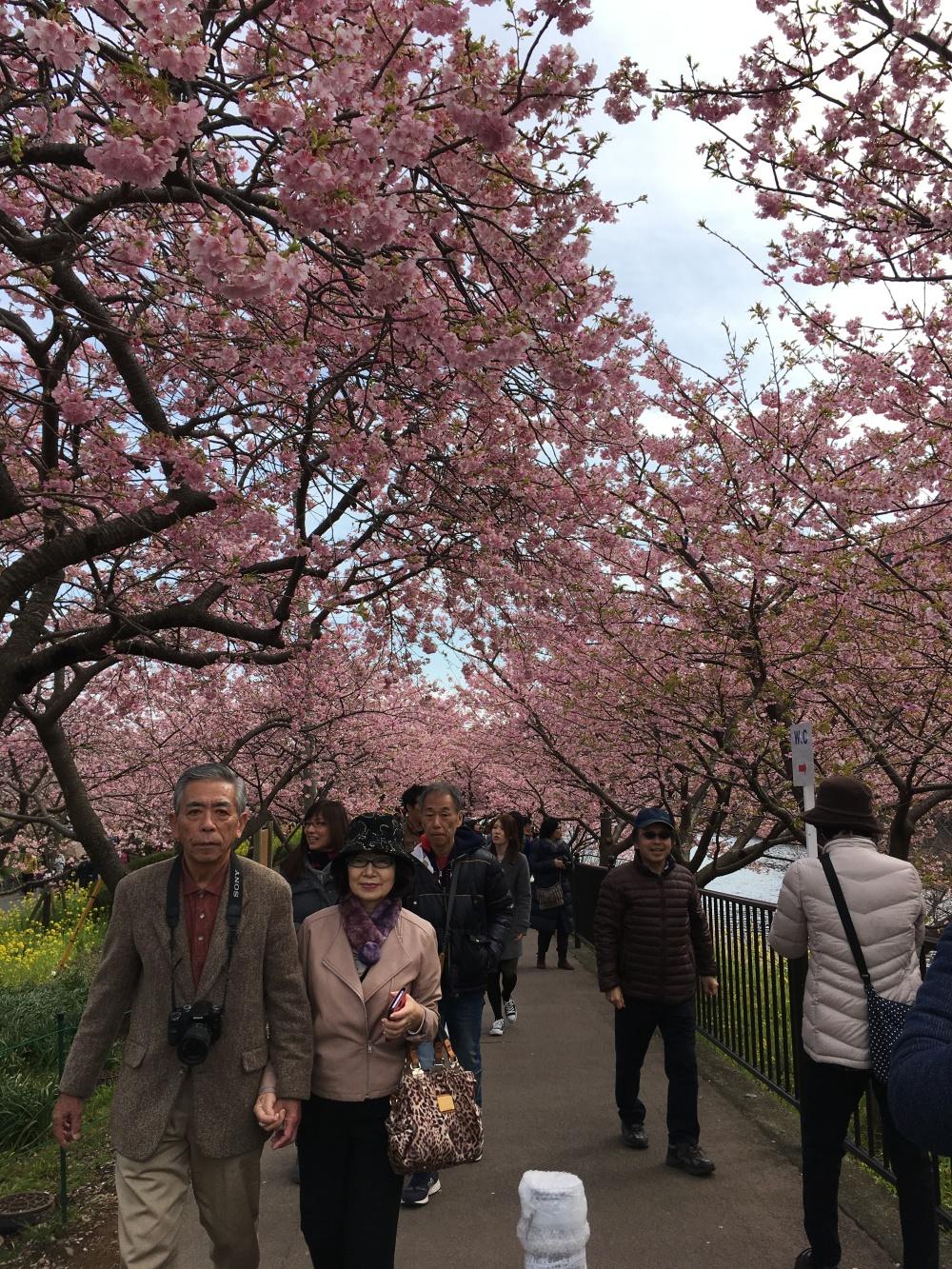 cherry-blossom-avenue