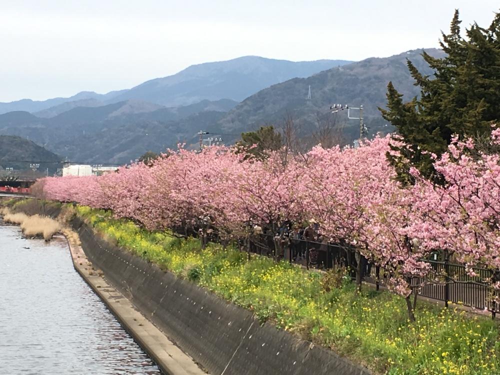 cherry-blossom-river
